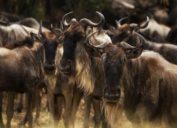 14 Kenia_Luxus Safari_MaraPlainsCamp-Migration_Große Tierwanderung_Gnu©GreatPlainsConservation