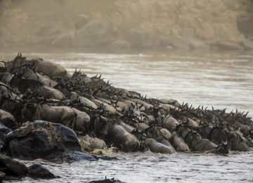 2 Kenia_Luxus Safari_MaraPlains-GroßeMigration_Gnu_River crossing©GreatPlainsConservation