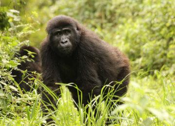2_Gorillas©The Uganda Safari Company