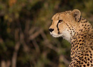 3 Ulusaba_Cheetah©Virginlimitededition