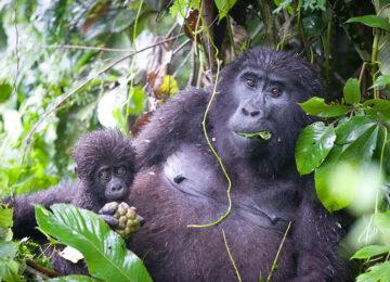 3_Gorilla Mum and Baby©The Uganda Safari Company