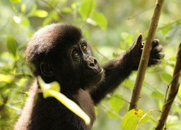 4_Gorillas©The Uganda Safari Company