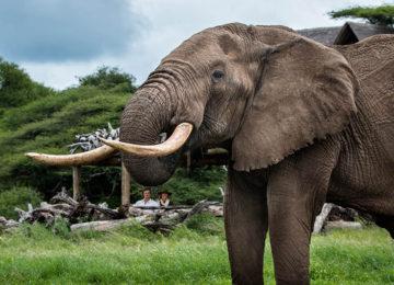 5 Kenia_Luxus Safari_Elefant_olDonyoLodge©GreatPlainsConservation