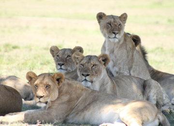 7 Kenia_Luxus Safari_Loewen Masai Mara_GreatPlainsConservation©Select Luxury Travel