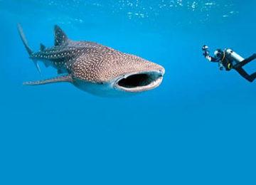 9_Whale Shark©Thanda Island