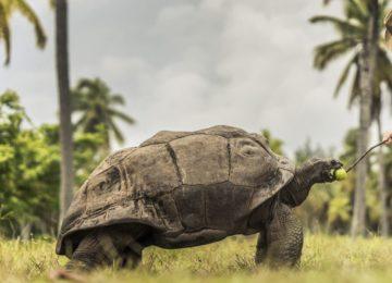 Aldabra_Riesenschildkröte©Four Seasons Resort Desroches Island