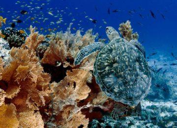 Alphonse Island-marinelife-turtle
