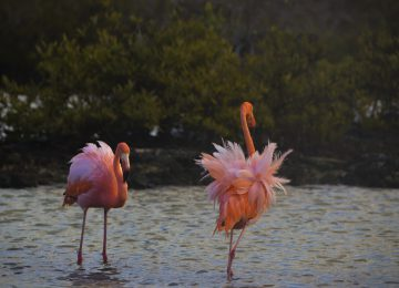 American-flamingo©big 15