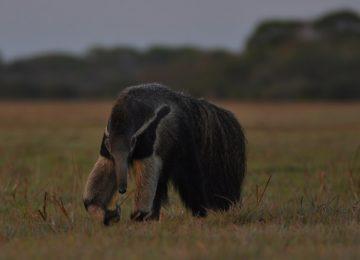 Araras Pantanal EcoLodge – Ameisenbär Pantanal