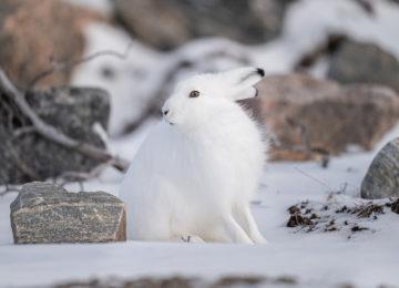 Arctic hare churchill wild ©Seal river Heritage Lodge,Nate Luebbe