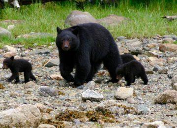 Bär©Rocky Mountains