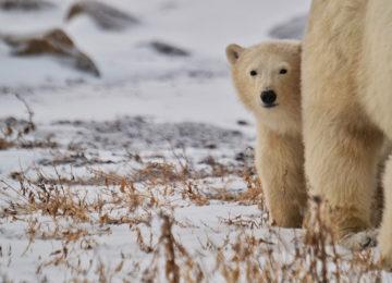 Bear©Seal River Lodge,Christina Jansa
