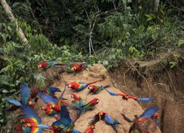 Tambopata Research Center – Lodge & Activities – Aves – JC – Colpa Mealy Parrots – Jeff Cremer Select Luxury Travel