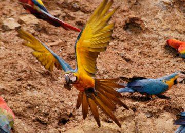 Colorado Clay Lick Select Luxury Travel Peru Tambopata Research Center Aras Papageien Peru