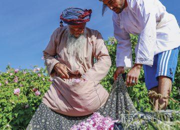 Ernte der Rosenblätter für Essenzen Alila Jabal Akhdar © Alila