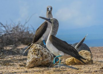 GPS91050-blue-footed-booby