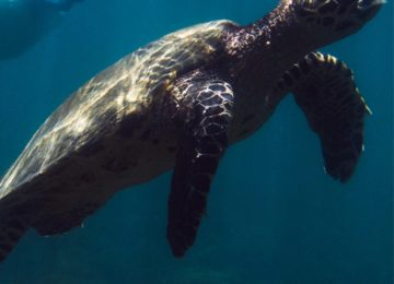 Schildkröte©Islas Secas Resort
