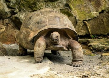 Denis_Private_Island_Seychellen_Giant_Tortoise