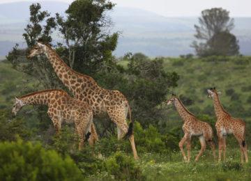 Giraffe 2010