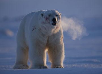 Eisbär Luxusreise Norwegen