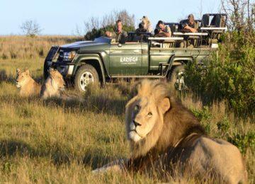 Kariega-lion-scaled