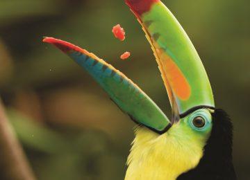 Keel Billed Toucan,Luxusreise  Costa Rica