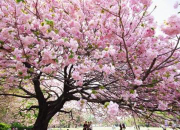 Kirschblüte in Tokyo © JNTO