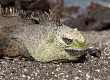 Marine Iguana Isabela © Klelintours