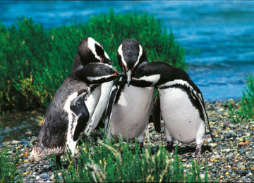 Pinguine Punta Tombo (Alberto Patrian)©Gadorviajes _ Argentinean Ministry of Tourism