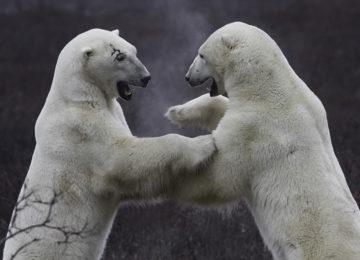 Polar Bear©Dymond Lake Eco Lodge-Robert Postma