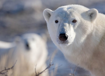 Polar Bear Face©Dymond Lake Eco Lodge