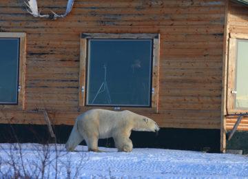 Polar Bear Window ©Dymond Lake Eco Lodge-Cdafna Bennun