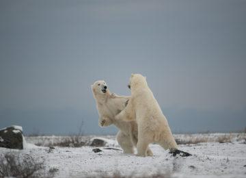 Polar Bear,Churchill©Seal River Lodge, Arturo Spajani