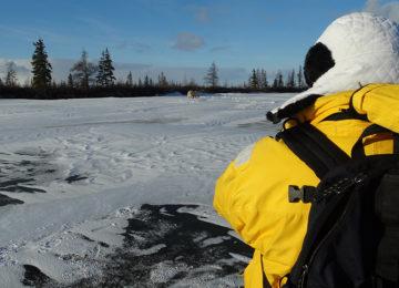 Polar BearTour©Dymond Lake Eco Lodge-Dafna Bennun