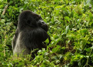 R.Friedman-MtnGorilla©Wilderness Safaris