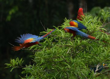 Select Luxury Travel Peru Tambopata Research Center Aras Papageien Peru  Scarlet Macaws by Carl Safina 1