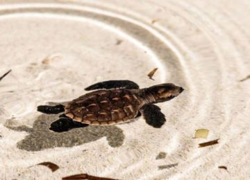 Schildkröte©Alphonse Island