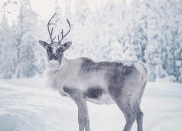 Rentier Octola Private Wilderness Lodge Finnland Polarkreis