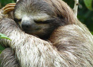 Sloth,Luxusreise  Costa Rica