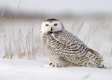 Snowy Owl©Dymond Lake Eco Lodge-Dennis Fast