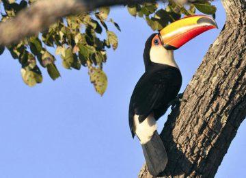 Tucan,,Pantanal ,Brasilien,Luxusreise