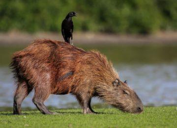 Wasserschwein Pantanal
