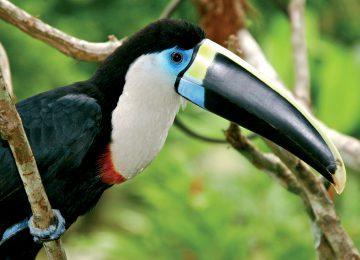 Wildlife Adventure- Amazon – Toucan