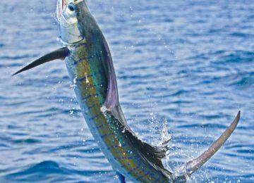alphonse-experiences-game-fishing-sailfish