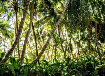 alphonse-island-flora-palms-tropical island landscape