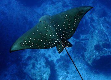 alphonse-island-marine-life-Sting Ray