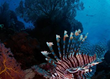 alphonse-island-marinelife-lionfish