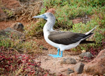 blue-footed-booby©MT