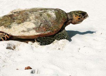Schildkröte Constance Lemuria Resort Praslin, Seychellen