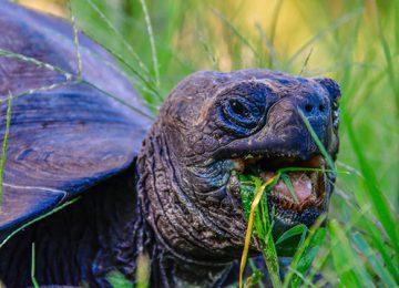 galapagos-giant-tortoise-eating-1